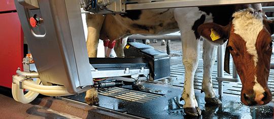 Buchaer Melkroboter Milchkuh